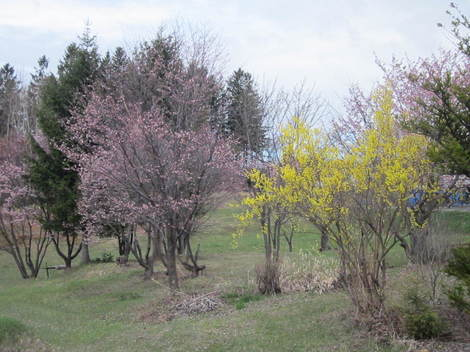 桜 005.JPG