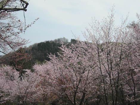 金比羅山桜・アイス 004.JPG