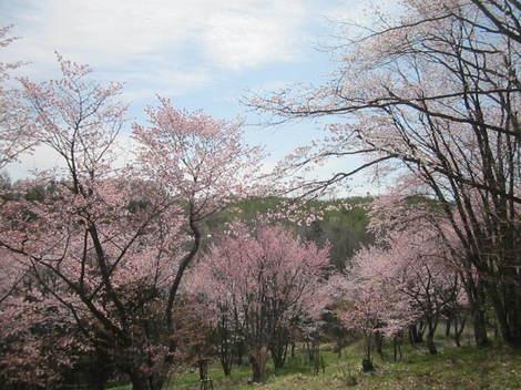 金比羅山桜・アイス 009.JPG