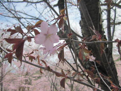 金比羅山桜・アイス 013.JPG