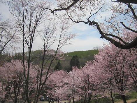 金比羅山桜・アイス 015.JPG