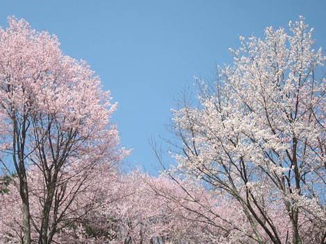 金比羅山桜・アイス 019.JPG