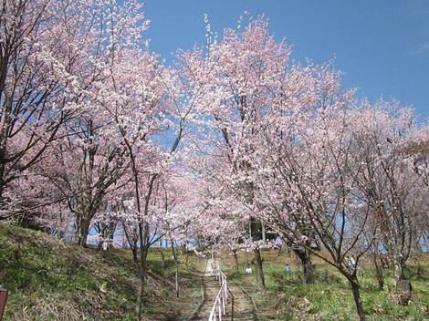 金比羅山桜・アイス 022.JPG